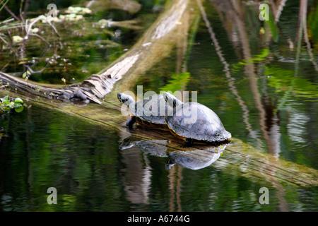 Two Florida Redbelly Turtles on submerged tree trunk Southwest Florida - Stock Photo