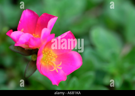 Pink Red Moss Rose Portulaca umbraticola flowers - Stock Photo