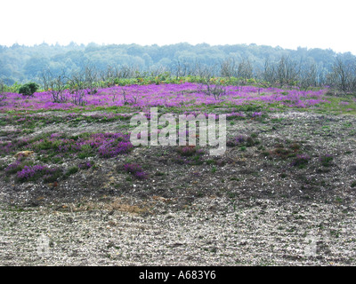 purple heather in New Forest National park England - Stock Photo