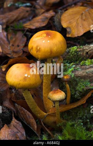 Orange Coloured Fungi Growing On Woodchips Taken In