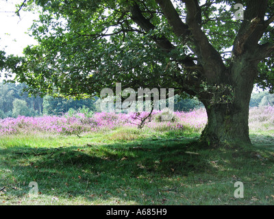 purple heather in National Park Meinweg Herkenbosch Limburg Netherlands with prominent tree - Stock Photo