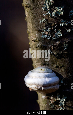 Polypore growing on a trunk of dead birch tree - Stock Photo