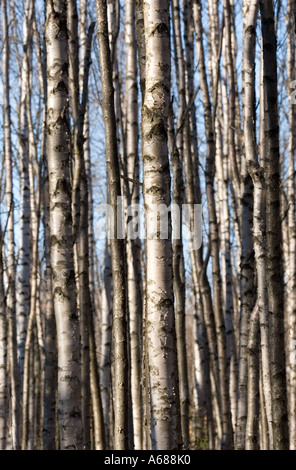 Thicket formed of young birch ( betula ) trees - Stock Photo