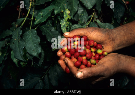 Coffee picker's hands with freshly picked coffee berries (Coffea arabica), Kilimanjaro Region, Tanzania - Stock Photo