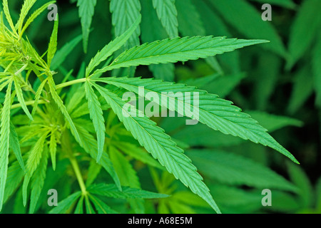 the medicinal use of marijuana or cannabis sativa Learn what indica strains are like, their effects on medical marijuana patients cannabis sativa and cannabis indica medicinal benefits from cannabis indica strains.