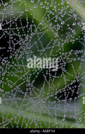 Sheet web Weaver, Sheet web Spinner, Line weaving Spider, Line Weaver, Money Spider (Linyphia sp.), dew covered - Stock Photo