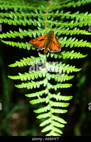 Male Large Skipper Butterfly (Ochlodes venatus) basking on a sunlit fern frond in woodland. Powys,Wales, UK. - Stock Photo