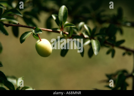 First plums on tree. Valencia. Spain. - Stock Photo