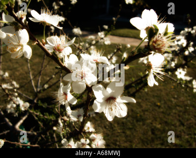 First plum blossoms of the season. Valencia. Spain. - Stock Photo