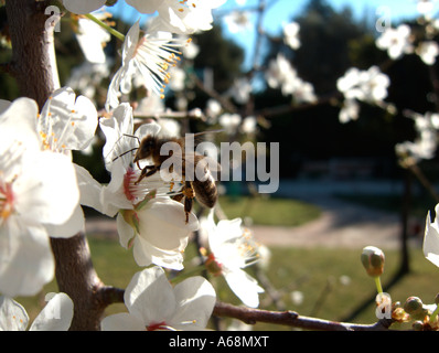 A bee collecting pollen in the first plum blossoms of the season. Valencia. Spain. - Stock Photo