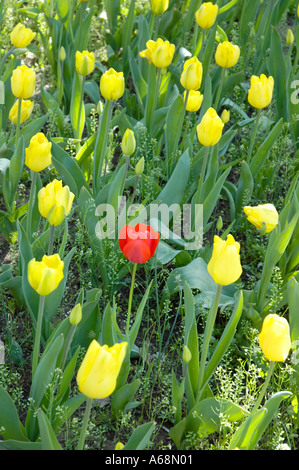 Single red tulip blooming in the midst of a bed of yellow tulips these flowers are in the genus tulipa - Stock Photo