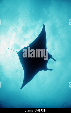 silhouette of giant manta ray at surface - Stock Photo