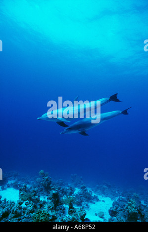 two wild dolphins swimming near the surface - Stock Photo