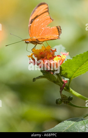 Orange julia longwing butterfly on a pink and yellow flower B - Stock Photo