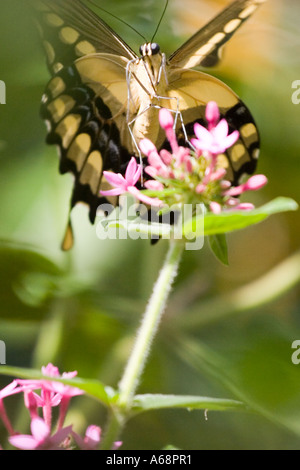 Butterfly on a pink flower A - Stock Photo