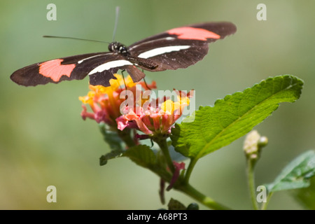 Crimson patched longwing butterfly on a pink and yellow flower - Stock Photo