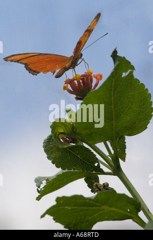 Orange julia longwing butterfly on a pink and yellow flower C - Stock Photo