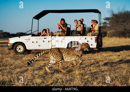 Cheetah Acinonyx jubatus Tourists in safari vehicle watching a cheetah in the grass. Private game reserve Namibia - Stock Photo
