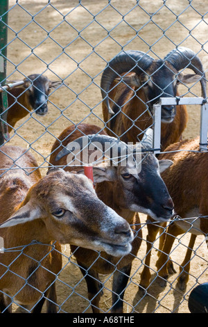 A herd of goats looking at the camera from behind a wire fence - Stock Photo