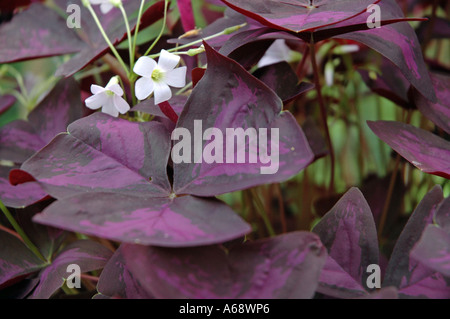 Oxalis triangularis Purple shamrock also called Crimson Iron Cross - Stock Photo