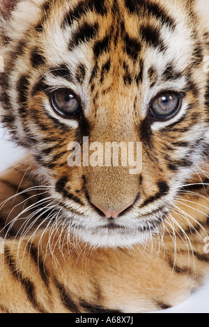 Tiger Panthera tigris Portrait of a two month old cub Distribution Asia - Stock Photo