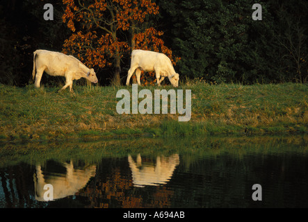 Two Charolais cows reflected in water as they graze beside fall colored trees, Missouri USA - Stock Photo
