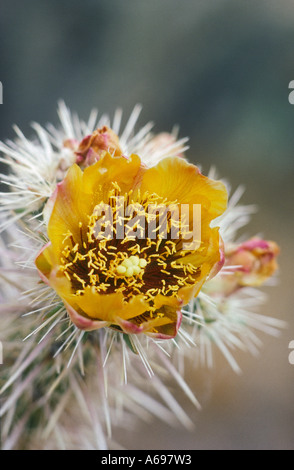 Buckthorn Cholla cactus blossom Cylindropuntia acanthocarpa - Stock Photo