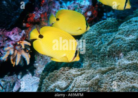 Andaman butterflyfish Chaetodon andamanensis feeding on coral Andaman Sea Thailand - Stock Photo