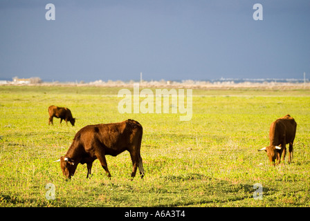Bulls grazing on a meadow. Donana national park area, Spain. - Stock Photo