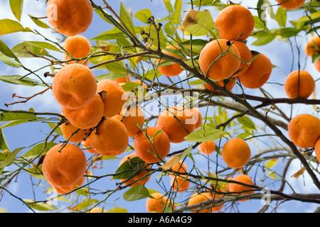 Bitter oranges on the tree, Seville, Spain - Stock Photo