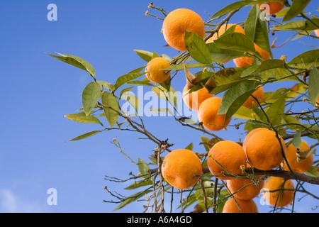Bitter oranges on tree, Seville, Spain - Stock Photo