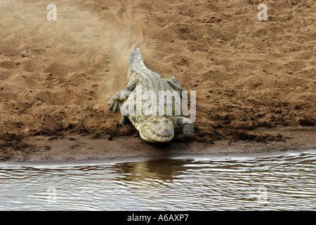crocodylus niloticus Nile crocodile - Stock Photo