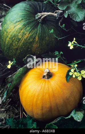 Pumpkins Ripening in a Field in the Autumn - Stock Photo