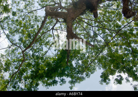 A color horizontal image looking up at the underside of a large leafy tree with blue sky and puffy clouds in the - Stock Photo