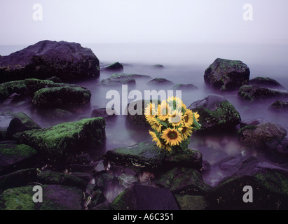 Composition of sunflowers on Atlantic Ocean beach, Southampton, southeastern Suffolk County, New York, USA - Stock Photo