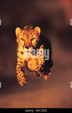 Cheetah Acinonyx jubatus Can run up to speeds of up to 120 km hr over short distances Africa Middle East - Stock Photo