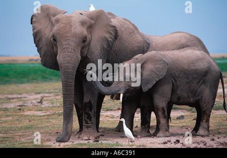 African elephant Loxodonta africana With young Amboseli N P Kenya Sub Saharan Africa - Stock Photo