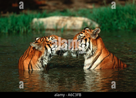 Tiger Panthera tigris Swimming in hot weather Endangered Corbett National Park India Asia extinct in much of its - Stock Photo