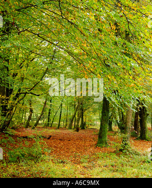Track through autumnal woodland scene with golden brown fallen leaves and partially bare trees - Stock Photo