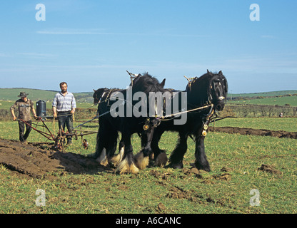RHOSGOCH CEMAES ANGLESEY NORTH WALES UK March Two Black Shire Horses pulling an old hand held plough - Stock Photo