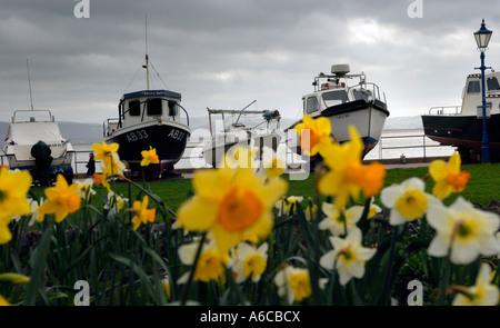Daffodils flowering in front of Fishing boats Aberdovey Wales - Stock Photo