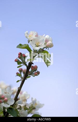Apple Blossom against Blu eSky - Stock Photo