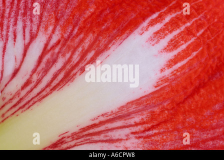 Close up abstract of a red Amaryllis flower petal - Stock Photo