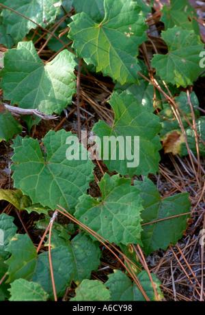 southern fox grape Vitis rotundifolia Saint Lucie County Savannas State Preserve pine flatwoods - Stock Photo