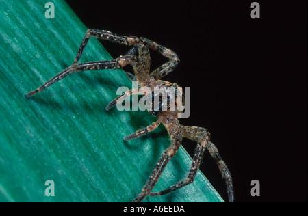 Zoropsis spinimana female spider starved - Stock Photo