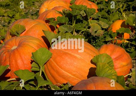 Pumpkins 'Big Max' in field. - Stock Photo