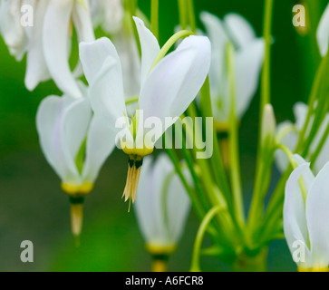 Close up shot of flowering Dodecatheon 'Dodecatheon meadia' - Stock Photo