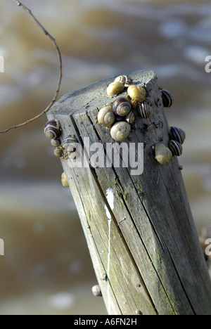 Snails find refuge on a fence post after flooding at Fladbury, Worcestershire. - Stock Photo