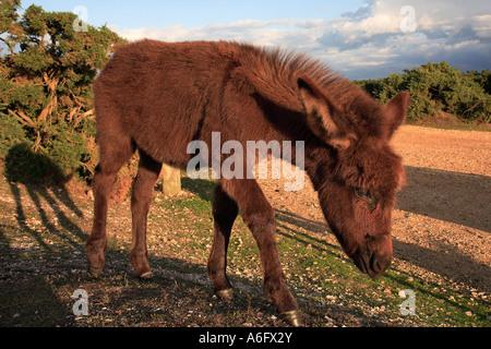 Donkey Deadman Hill New Forest Hampshire England - Stock Photo