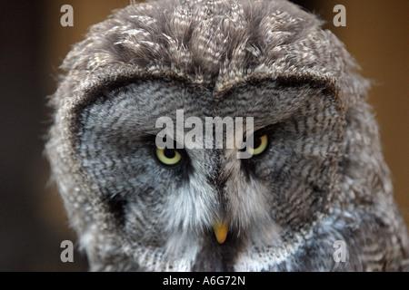 Great Grey Ow (Strix nebulosa) - Stock Photo